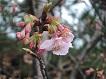 桜2.13.1
