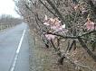 2.13.2桜